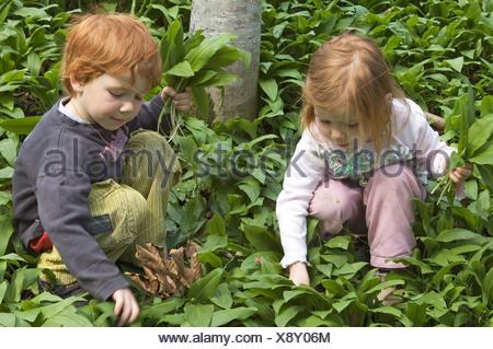 MR Mädchen und Junge pflücken im Wald Bärlauch Baerlauch Allium ursinum Bärenlauch MR girl and boy are picking ramson allium - Stock Photo