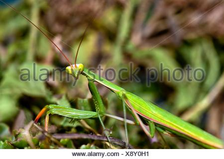 Green Praying Mantis (Mantis religiosa) in grass, West Jordan, Utah, USA - Stock Photo