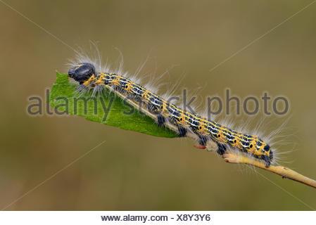 Grub of buff-tip on twig eating leaf - Stock Photo