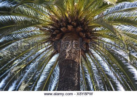 tree palm tree screening date palm tree palm tree umbrella head of a tree - Stock Photo