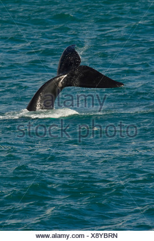 southern right whale (Eubalaena australis, Balaena glacialis australis), fluke of a diving whale sticking out of the water, South Africa, Western Cape - Stock Photo