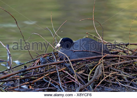 black coot (Fulica atra), sitting on the nest and breeding, Germany - Stock Photo