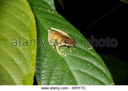 Frog of borneo, gading national park, sarawak, malaysia, borneo - Stock Photo