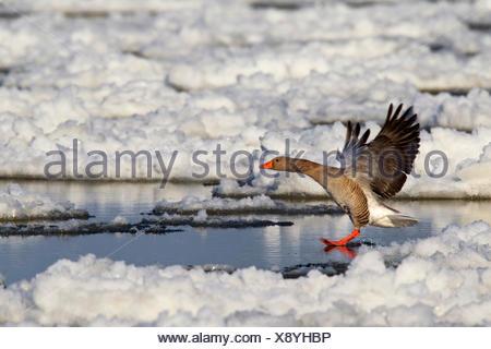 greylag goose (Anser anser), landing on the Elbe among drift ice, Germany, Lower Saxony, Wendland - Stock Photo