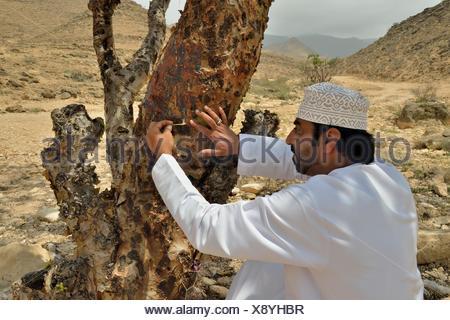 Local man harvesting the precious resin of an Frankincense Tree (Boswellia sacra), near Mughsayl, Dhofar Region, Orient, Oman - Stock Photo