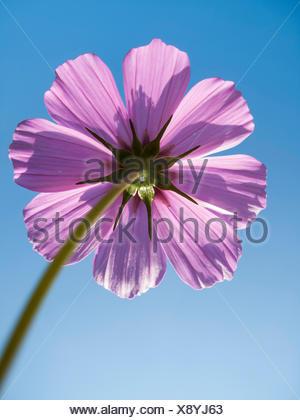 Schmuckkoerbchen, Schmuck-Koerbchen, Fiederblaettrige Schmuckblume, Cosmea, Kosmee (Cosmos bipinnatus), Bluetenkoepfchen von unt - Stock Photo
