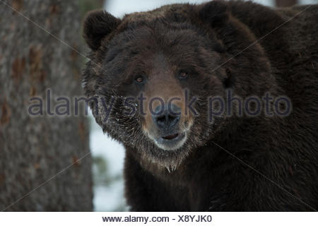 A grizzly bear, Ursus arctos horribilis, in Yellowstone National Park. - Stock Photo