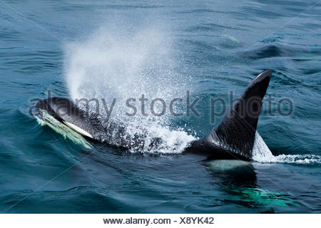 View from above of a killer whale spraying through its blowhole. - Stock Photo