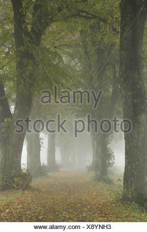 Avenue, linden trees, way, autumn, autumn colouring, fog, Germany, Bavaria, Benediktbeuern, - Stock Photo