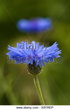 Nahaufnahme von Kornblumen (Centaurea cyanus). Stock Photo