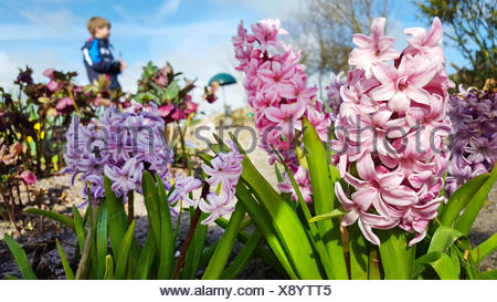 Jacinthe (Hyacinthus orientalis), blooming with child in the background, Germany - Stock Photo
