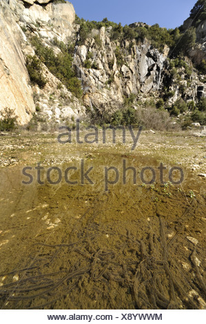green toad or variegated toad (Bufo viridis, Bufo balearicus), strings of spawn in a puddle, Italy, Sardegna - Stock Photo