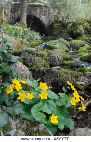 marsh marigold (Caltha palustris), blooming plant in a rugged brook bed, Germany, Baden-Wuerttemberg, Black Forest - Stock Photo