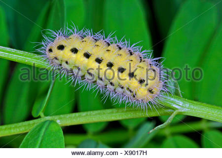 variable burnet (Zygaena ephialtes), caterpillar, Germany - Stock Photo