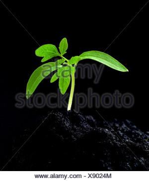 Tomato seedling - Stock Photo