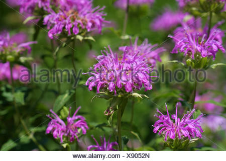 Bee Balm flower - Stock Photo