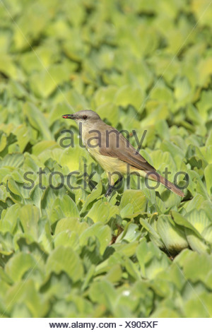Cattle Tyrant Machetornis rixosa adult insect beak perched aquatic vegetation Vicente Lopez Buenos Aires Province Argentina - Stock Photo