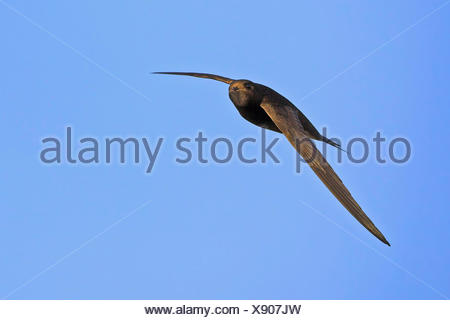 Eurasian swift (Apus apus), in flight in the blue sky , Germany, Baden-Wuerttemberg - Stock Photo