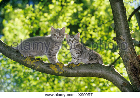 two British Shorthair kittens - on branch - Stock Photo