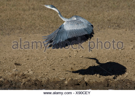 black-headed heron (Ardea melanocephala), flying up, South Africa, Kalahari Gemsbok National Park - Stock Photo