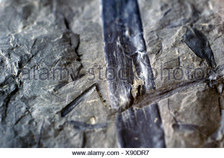 Cordaites from the Carbon - Stock Photo
