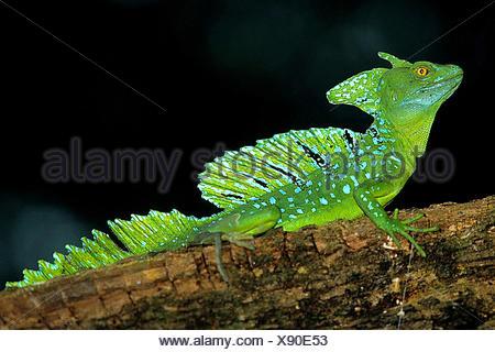 green basilisk, plumed basilisk, double-crested basilisk (Basiliscus plumifrons), male sits on a branch, Costa Rica - Stock Photo