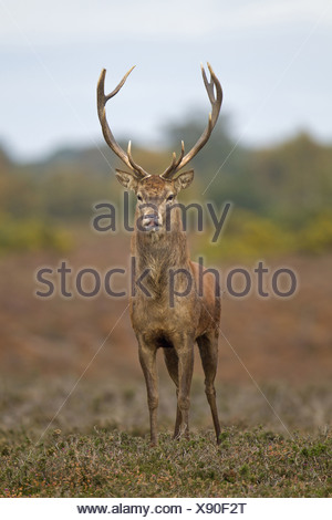 Red Deer Cervus elaphus stag stretching after sleeping standing heathland during rutting season Minsmere RSPB Reserve Suffolk - Stock Photo
