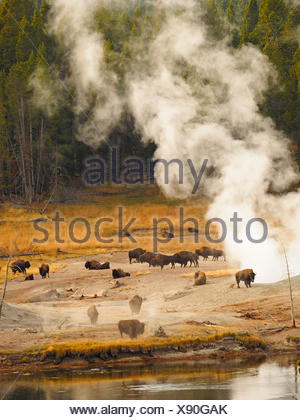 American bison, buffalo (Bison bison), herd of buffalos in front of hot springs, USA, Wyoming, Yellowstone National Park, West Thumb Geysir Basin - Stock Photo