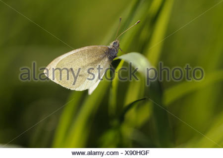 cabbage butterfly - Stock Photo