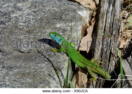 European Green Lizard, Lacerta viridis, Lacertidae, Lizrard, reptile, animal, Castello de Serravalle, Semione, Bleniotal, Canton, - Stock Photo