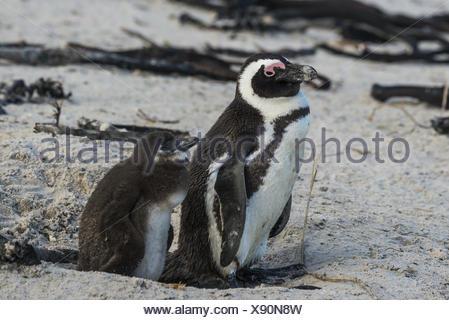 Jackass Penguin, (Spheniscus demersus,) - Stock Photo