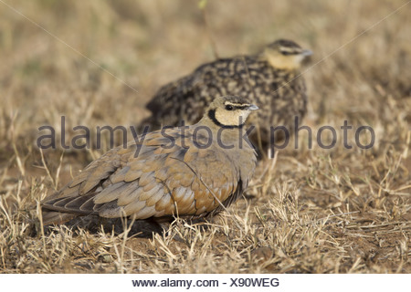 Yellow-throated Sandgrouse (Pterocles gutturalis) adult pair male in foreground and female in background standing amongst dried - Stock Photo