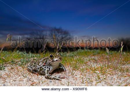 Eastern European spadefoot, Syrian spadefoot (Pelobates syriacus), Syrian spadefoot lurking for prey at sunset, Romania, Dobrudscha, Donaudelta, Donau-Delta, Vadu