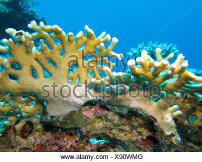 coral reef with yellow fire coral in tropical sea, underwater