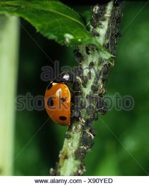 Seven spot ladybird Coccinella septumpunctata feeding on black bean aphids - Stock Photo