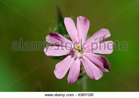 Red campion (Silene dioica) - Stock Photo
