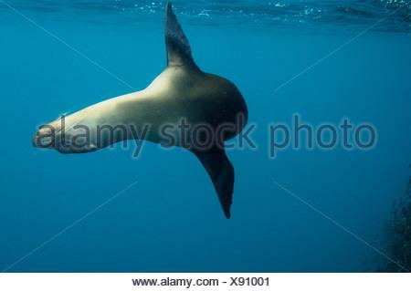 Galapagos sealion underwater,  Espanola (Hood) Island, Galapagos Islands, Ecuador, South America. - Stock Photo