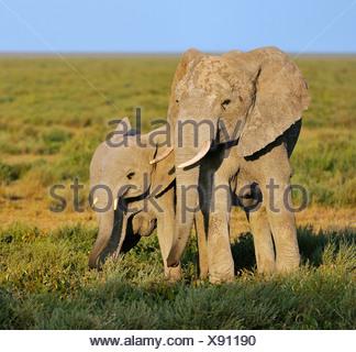 African Bush Elephants (Loxodonta africana), cow with calf in the morning light, Serengeti, Tanzania - Stock Photo