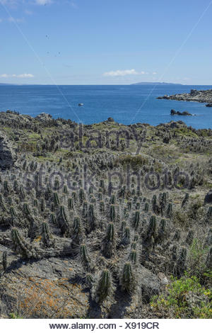 Cacti covered in lichen on Damas Island, Coquimbo Region, Chile - Stock Photo