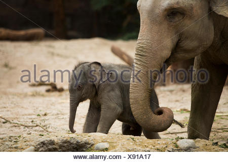 Animals, elephants, young, elephant, zoo Zurich, animals, animal, canton Zurich, zoo, Switzerland, Europe, - Stock Photo