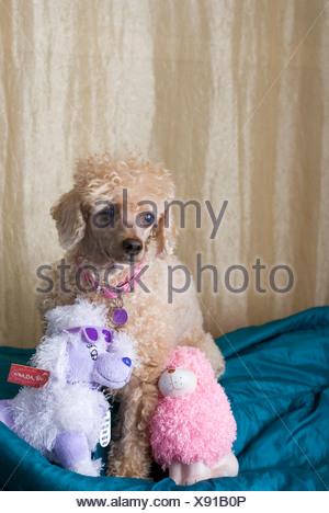 Apricot Miniature Poodle and stuff dolls - Stock Photo