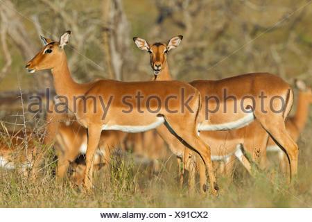 impala (Aepyceros melampus), females in savannah, South Africa, Hluhluwe-Umfolozi National Park - Stock Photo