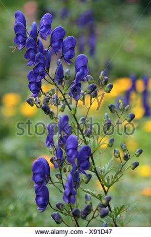 Monkshood -Aconitum napellus - Stock Photo