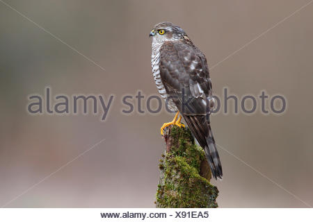 Sparrowhawk (Accipiter nisus), female perched on a moss-covered tree trunk, North Rhine-Westphalia, Germany - Stock Photo