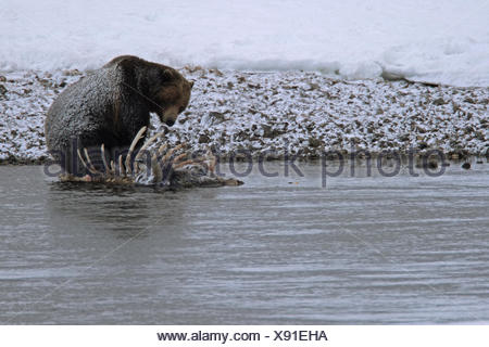 A grizzly bear, Ursus arctos horribilis, feeds on a bison carcass in the Yellowstone River. - Stock Photo