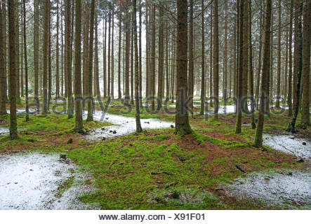 spruce (Picea spec.), view in a spruce forest with mossy forest ground and a little bit fresh snow, Germany, Bavaria, Oberbayern, Upper Bavaria - Stock Photo