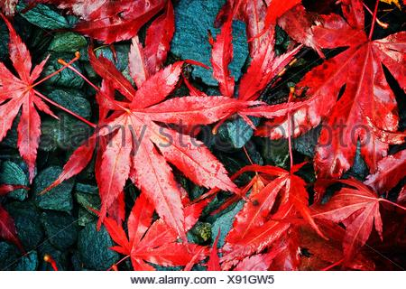 Autumn Fall colour Acer palmatum variety Bloodgood - Stock Photo