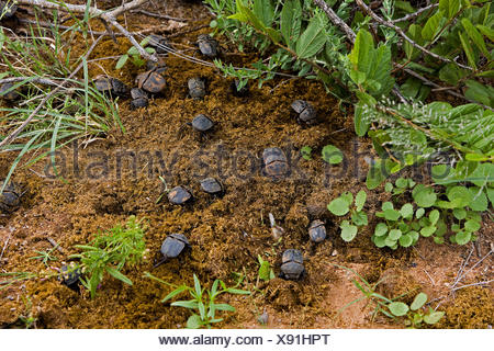 Dung Beetle on Elephant's Dung, Namibie - Stock Photo