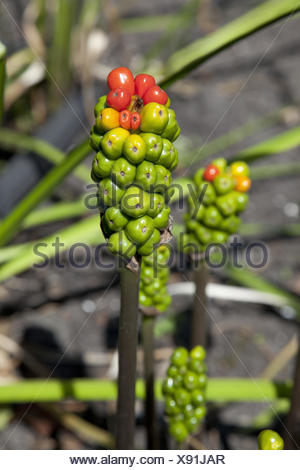 Arum maculatum berries in autumn. - Stock Photo