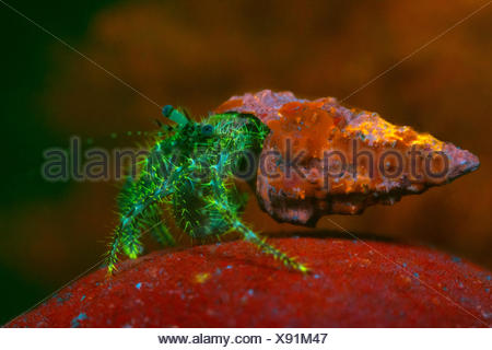 Fluorescent Long-armed Hermit Crab, Pagurus anachoretus, Piran, Slovenia - Stock Photo